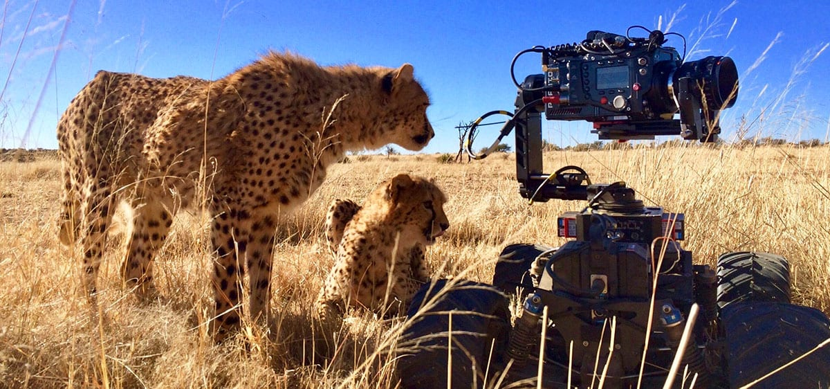Newton stabilized remote head on Motion Impossible M-series BBC Big Cats